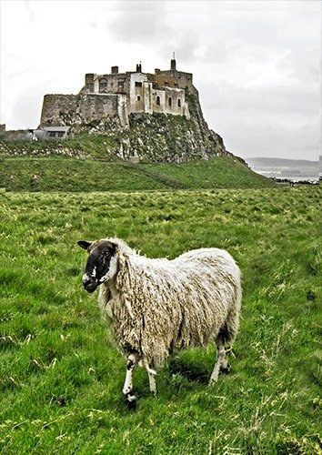 Lindisfarne Castle Sheep UK, Black colour - From £17.50 | Metal Plate Pictures