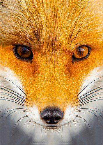 Animal fox face, Black colour - From £17.50 | Metal Plate Pictures