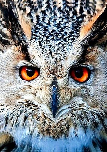 Animal long eared owl face, Black colour - From £17.50 | Metal Plate Pictures