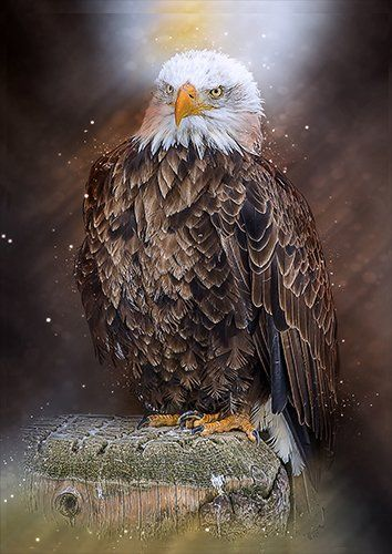 Bald eagle, Black colour - From £17.50 | Metal Plate Pictures