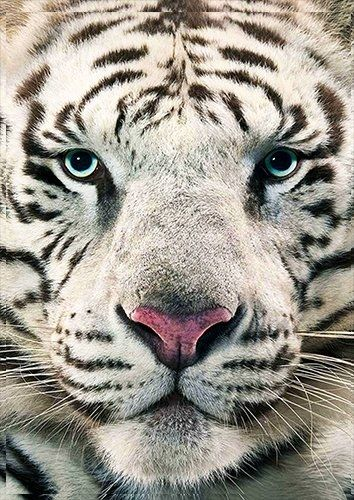 Animals white bengal tiger face, Black colour - From £17.50 | Metal Plate Pictures