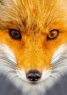Animal fox face