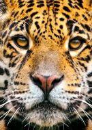 Animal jaguar face