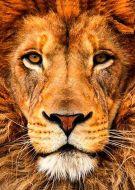 Animal lion face