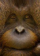 Animal oangutang face