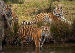 Animals big cats taking a dip