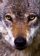 Animals wolf face