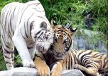 Animal white cats tigers
