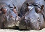 Close up hippopotamus