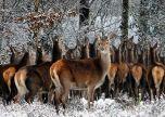 Deer in a pack