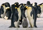Penguins close up cute