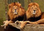 Proud Lions