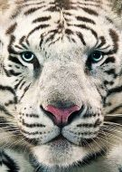 Animals white bengal tiger face