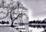 Tree by the lake black and white