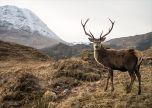 Wild deer stag