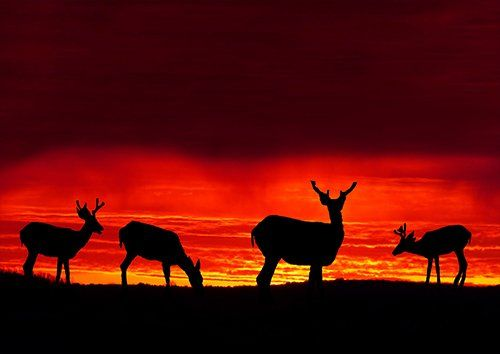Sunset deer grazing silhouette landscape, Black colour - From £17.50 | Metal Plate Pictures