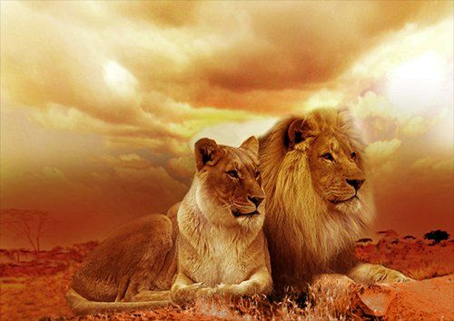 Africa Lion and lioness dusk, Black colour - From £20.50 | Metal Plate Pictures