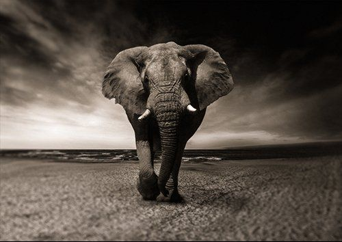 Animal elephant walking black and white, Black colour - From £17.50 | Metal Plate Pictures
