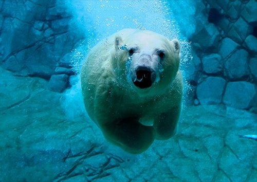 Animal polar bear underrwater, Black colour - From £17.50 | Metal Plate Pictures