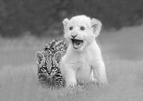 Animals cubs friendship black and white, Black colour - From £17.50 | Metal Plate Pictures