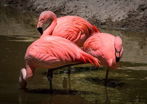 Flamingo Pink, Black colour - From £17.50 | Metal Plate Pictures