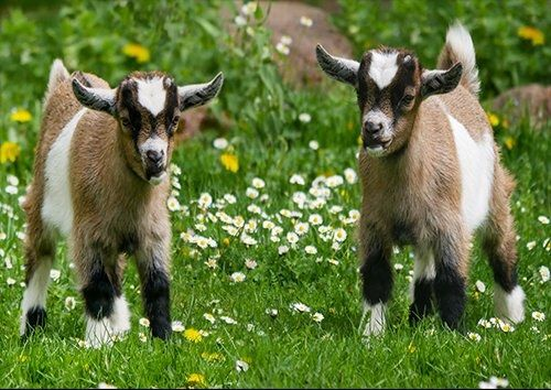 Kid Goats, Black colour - From £17.50 | Metal Plate Pictures