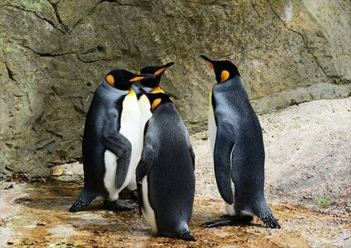 Penguins beaks birds, Black colour - From £17.50 | Metal Plate Pictures