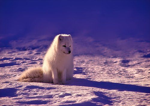 Snow Fox norway, Black colour - From £20.50 | Metal Plate Pictures