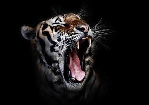 Tiger Roar big cat, Black colour - From £17.50 | Metal Plate Pictures