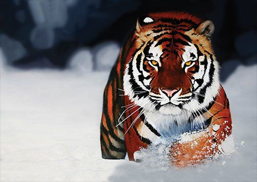 Tigers In the snow big cats, Black colour - From £17.50 | Metal Plate Pictures