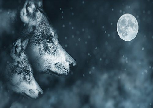 Wolf At night, Black colour - From £17.50 | Metal Plate Pictures