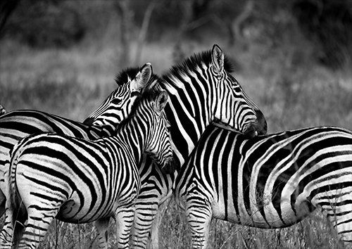 Zebra hurd, Black colour - From £17.50 | Metal Plate Pictures