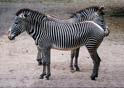 Zebras a pair, Black colour - From £17.50 | Metal Plate Pictures