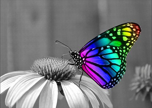 Animal Colorful Butterfly, Black colour - From £17.50 | Metal Plate Pictures