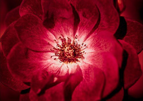 Aroma red flower, Black colour - From £17.50 | Metal Plate Pictures