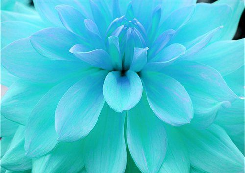 Open teal flower, Black colour - From £20.50 | Metal Plate Pictures