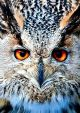 Animal long eared owl face
